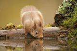 Red Squirrel (Sciurus Vulgaris) Drinking from Woodland Pool, Scotland, UK, November Fotografie-Druck von Mark Hamblin