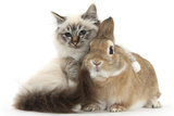 Tabby-Point Birman Cat with Paw Round Sandy Netherland-Cross Rabbit Fotografisk tryk af Mark Taylor