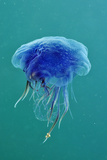 Blue Jellyfish (Cyanea Lamarckii), Feeding on Small Plankton, Lundy Island, Devon, UK Fotografie-Druck von Linda Pitkin