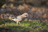 Jay (Garrulus Glandarius). Scotland, UK, February Reproduction photographique par Mark Hamblin