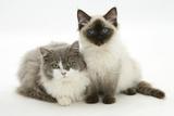 Ragdoll X British Shorthair and Ragdoll Kittens, 12 Weeks Impressão fotográfica por Mark Taylor
