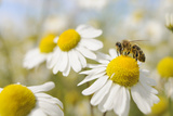 European Honey Bee Collecting Pollen and Nectar from Scentless Mayweed, Perthshire, Scotland Lámina fotográfica por Fergus Gill