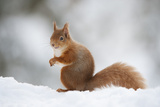 Red Squirrel (Sciurus Vulgaris) Adult in Snow, Cairngorms National Park, Scotland, February Photographic Print by Mark Hamblin