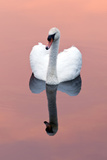 Mute Swan (Cygnus Olor) on Water with Reflection, Shapwick Heath Nr, Somerset Levels, Somerset, UK 写真プリント : ロス・ホディノット