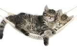 Two Cute Tabby Kittens, Stanley and Fosset, 7 Weeks, Sleeping in a Hammock Fotoprint van Mark Taylor