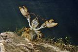 White Clawed Crayfish Underwater, Showing Defensive Posture, River Leith, Cumbria, England, UK Fotografisk tryk af Linda Pitkin