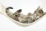 Cute Tabby Kitten, Stanley, 7 Weeks, Sleeping in a Hammock Fotografie-Druck von Mark Taylor