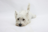 West Highland White Terrier Lying Stretched Out with Her Chin on the Floor Photographic Print by Mark Taylor
