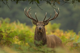 Red Deer (Cervus Elaphus) Dominant Stag Amongst Bracken, Bradgate Park, Leicestershire, England, UK Reproduction photographique par Danny Green