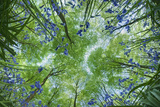 Looking Up Through Carpet of Bluebells (Endymion Nonscriptus) to Beech (Fagus Sylvatica) Canopy, UK Fotografie-Druck von Guy Edwardes