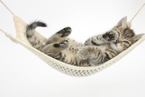 Cute Tabby Kitten, Stanley, 7 Weeks Old, Lying in a Hammock Fotografie-Druck von Mark Taylor