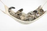 Cute Tabby Kitten, Stanley, 7 Weeks Old, Lying in a Hammock Impressão fotográfica por Mark Taylor