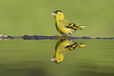 Siskin (Carduelis Spinus) Male at Garden Pool, Scotland, UK, May Photographic Print by Mark Hamblin