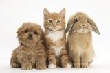 Peekapoo (Pekingese X Poodle) Puppy, Ginger Kitten and Sandy Lop Rabbit, Sitting Together Fotografisk tryk af Mark Taylor