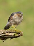Sparrowhawk (Accipiter Nisus) Adult Male. Scotland, UK, February Stampa fotografica di Mark Hamblin