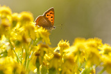 Small Copper (Lycaena Phlaeas) Butterfly Resting on Common Ragwort (Senecio Jacobaea) Dorset, UK 写真プリント : ロス・ホディノット