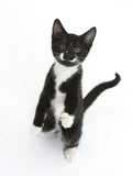 Black and White Tuxedo Kitten, Tuxie, Standing Up on Haunches and Looking Up with Raised Paws Lámina fotográfica por Mark Taylor