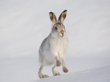 Mountain Hare (Lepus Timidus) Running Up a Snow-Covered Slope, Scotland, UK, February Stampa fotografica di Mark Hamblin