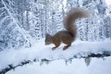 Red Squirrel (Sciurus Vulgaris) on Snow-Covered Branch in Pine Forest, Highlands, Scotland, UK Fotografie-Druck von Peter Cairns