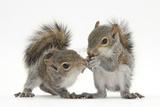 Grey Squirrels (Sciurus Carolinensis) Two Young Hand-Reared Babies Portrait Lámina fotográfica por Mark Taylor