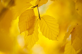 European Beech Tree {Fagus Sylvatica} Yellow Leaves in Autumn, Sence Valley, Leicestershire, UK 写真プリント : ロス・ホディノット