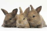 Three Baby Rabbits in Line Fotografisk tryk af Mark Taylor