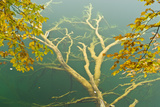 Fallen Tree Submerged in Gradinsko Lake and European Beech Leaves, Plitvice Lakes Np, Croatia Photographic Print by  Biancarelli