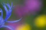 Close-Up of Mountain Cornflower (Centaurea Montana) Flower, Liechtenstein, July 2009 Photographic Print by  Giesbers