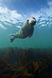 Grey Seal (Halichoerus Grypus) Portrait Underwater, Farne Islands, Northumberland, England, UK Fotografisk tryk af Alex Mustard