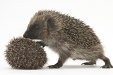 Two Young Hedgehogs (Erinaceus Europaeus) One Standing, One Rolled into a Ball Lámina fotográfica por Mark Taylor