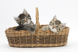 Cute Tabby Kittens, Stanley and Fosset, 6 Weeks Old, in a Wicker Basket Photographic Print by Mark Taylor