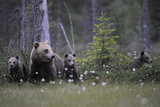 Eurasian Brown Bear (Ursus Arctos) with Three Cubs, Suomussalmi, Finland, July 2008 Lámina fotográfica por  Widstrand