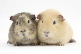 Two Guinea-Pigs Fotografie-Druck von Mark Taylor