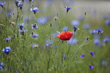 Red Poppy (Papaver Rhoeas) Brown Knapweed (Centaurea Jacea) and Forking Larkspur, Slovakia Photographic Print by  Wothe
