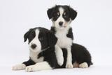 Border Collie Puppies Playing Impressão fotográfica por Mark Taylor