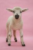 Lamb Portrait Premium fotoprint van Mark Taylor