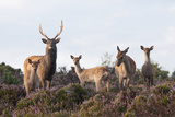 Sika Deer (Cervus Nippon), Stag, Hind and Young, Amongst Flowering Heather, Dorset, UK, August Lámina fotográfica por Ross Hoddinott