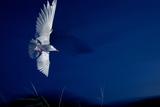 Whiskered Tern (Chlidonias Hybrida) in Flight at Night, Lake Skadar, Lake Skadar Np, Montenegro Reproduction photographique par  Radisics