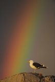 Greater Black Backed Gull (Larus Marinus) Standing on Rock with Rainbow, Flatanger, Norway Reproduction photographique par  Widstrand
