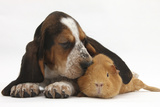Basset Hound Puppy, Betty, 9 Weeks, with Ear over a Red Guinea Pig Lámina fotográfica por Mark Taylor