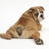 Bulldog Puppy, 11 Weeks, Rear View Sprawled Out and Looking Round Reproduction photographique par Mark Taylor