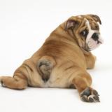 Bulldog Puppy, 11 Weeks, Rear View Sprawled Out and Looking Round Fotografie-Druck von Mark Taylor