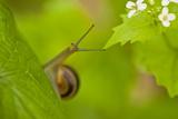Snail on Garlic Mustard (Alliaria Petiolata) Leaves, Hallerbos, Belgium, April Fotografisk trykk av  Biancarelli