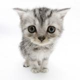 Silver Tabby Kitten with Big Eyes Fotografie-Druck von Mark Taylor