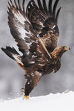Golden Eagle (Aquila Chrysaetos) Taking Off, Flatanger, Norway, November 2008 Fotografie-Druck von  Widstrand