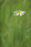 Marguerite - Oxeye Daisy (Leucanthemum Vulgare) in Flower, Roudenhaff, Mullerthal, Luxembourg Photographic Print by  Tønning