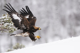 Golden Eagle (Aquila Chrysaetos) Landing in Snow, Flatanger, Norway, November 2008 Reproduction photographique par  Widstrand