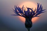 Mountain Cornflower (Centaurea Montana) with the Sun Behind It, Liechtenstein, July 2009 Photographic Print by  Giesbers