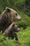 Eurasian Brown Bear (Ursus Arctos) Mother and Cub, Suomussalmi, Finland, July 2008 Reproduction photographique par  Widstrand
