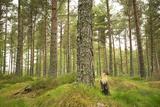 Pine Marten (Martes Martes) Adult Female in Caledonian Forest, the Black Isle, Scotland, UK Lámina fotográfica por Terry Whittaker
